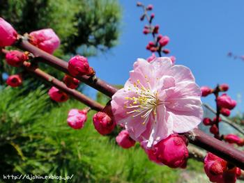 ume-blossom_2011_1.jpg